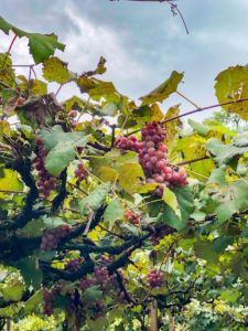 vinicola-6